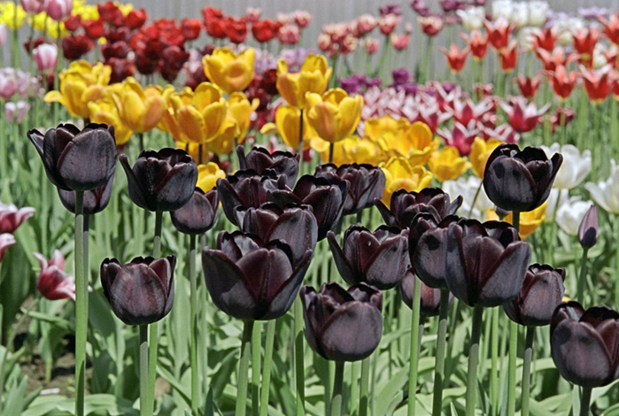 tulip_black (700x470, 402Kb)