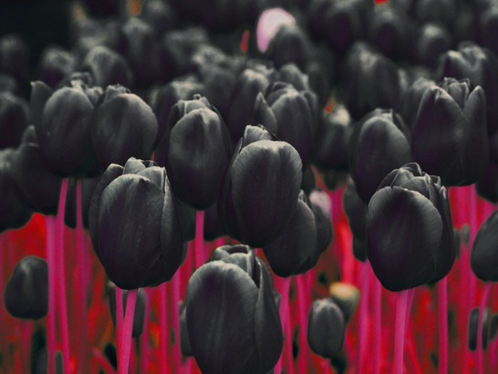 70646439_1297632488_1245224_42391133_1239472051_black_tulips_by_d4rud3 (700x525, 59Kb)