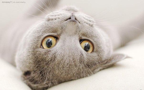 Почему кошка переворачивается на спину при вашем приближении (604x377, 41Kb)