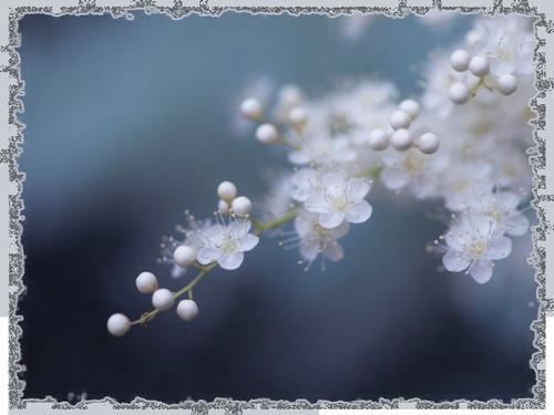 vesna-cvety-elye-derevo (500x375, 241Kb)