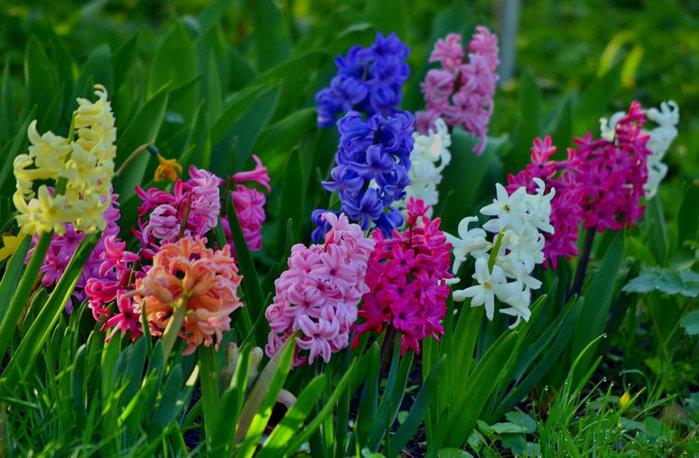 3303834_hyacinth_10 (700x458, 92Kb)