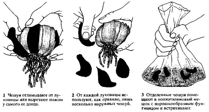 Когда размножать лилии чешуйками
