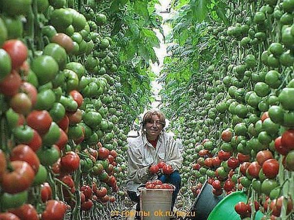 Поделки из помидоров