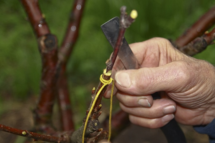 4920201_Cherry_tree_grafting_3 (700x467, 81Kb)