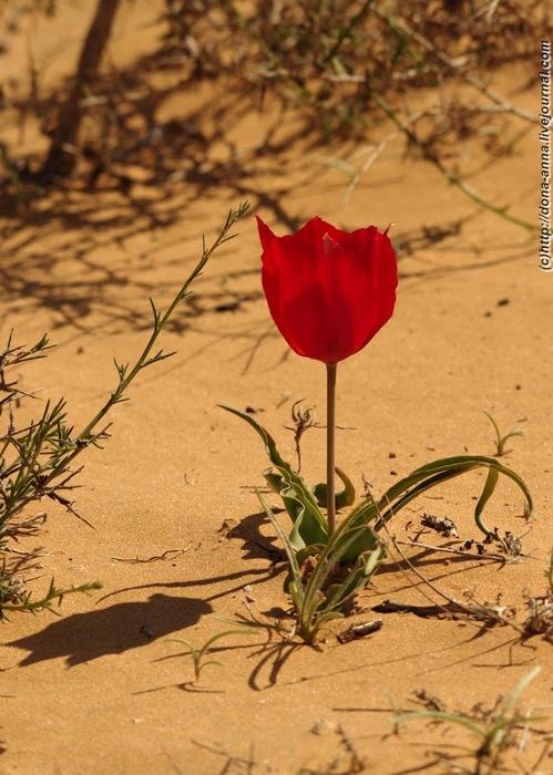 тюльпан (499x700, 117Kb)