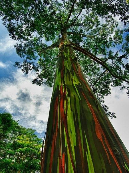 Радужный эвкалипт, Гавайи (452x604, 111Kb)