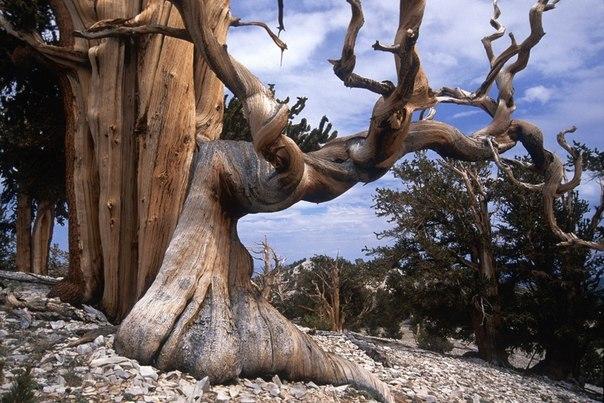 Бристлеконские сосны — самые старые деревья на планете (604x403, 86Kb)