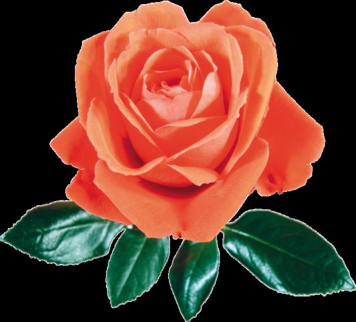 roza2 (48) (700x631, 433Kb)