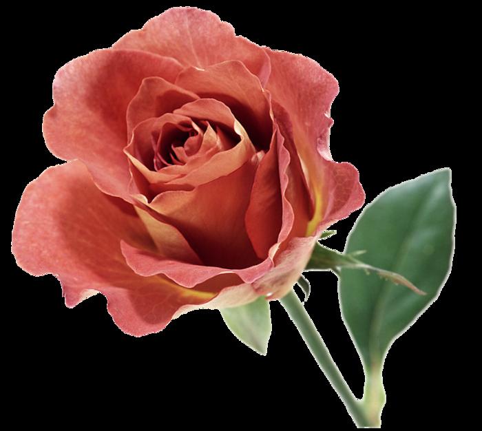 roza2 (60) (700x626, 408Kb)