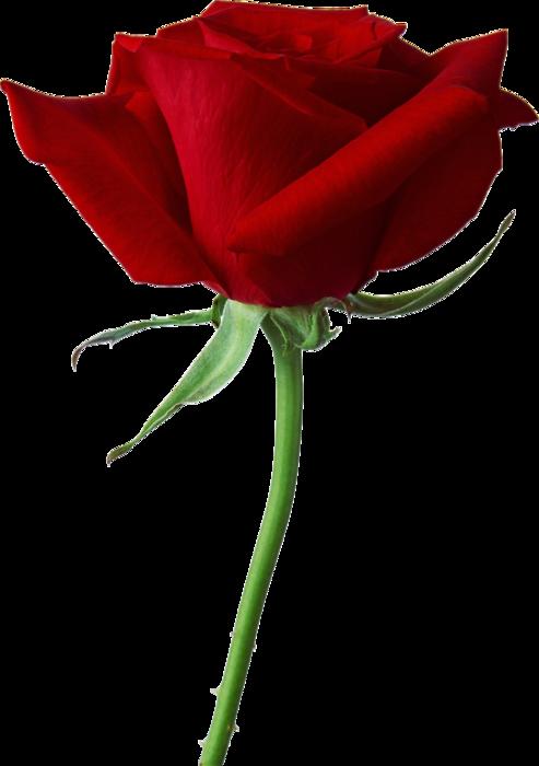 roza2 (63) (493x700, 197Kb)