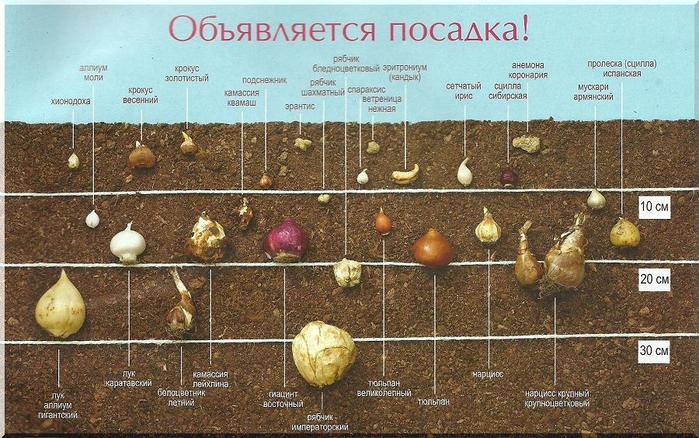 Прежде всего, для луковичных
