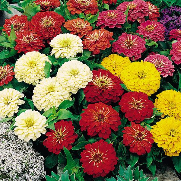 Садовые сорта многолетних цветов