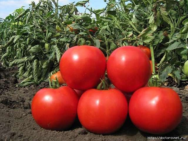 1428078432_tomatuy_pomidoruy (640x480, 166Kb)