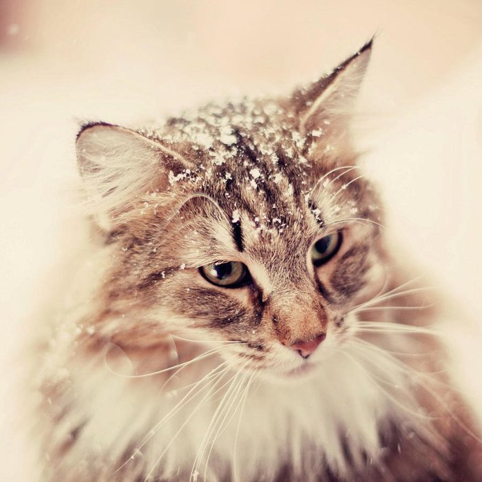 3085196_snowynorwegianforestcatemelynilsson (700x700, 74Kb)