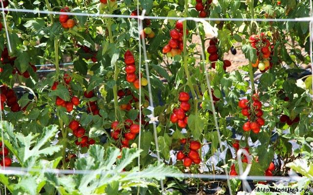 помидоры на молоке/5186405_original_1 (640x400, 315Kb)