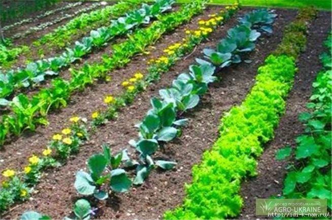 совместные посадки на огороде, как сделать летний водопровод на даче, как совместно садить овощи на даче, совместимость огородных культур, какие овощи полезно садить вместе, какие овощи нужно садить рядом, /4682845_1853411 (654x434, 188Kb)