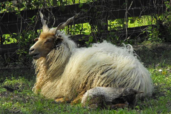 бело-Racka-овцы (700x466, 435Kb)