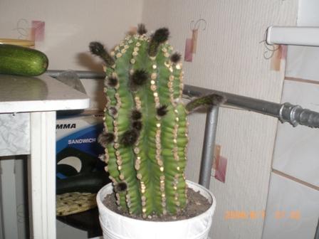 cactus2 (448x336, 144Kb)