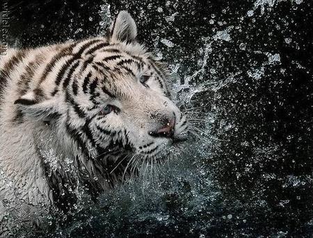 """Предпросмотр - Схема вышивки  """"Купание белого тигра """" - Схемы автора  """"vasilyvairina """" - Вышивка крестом."""
