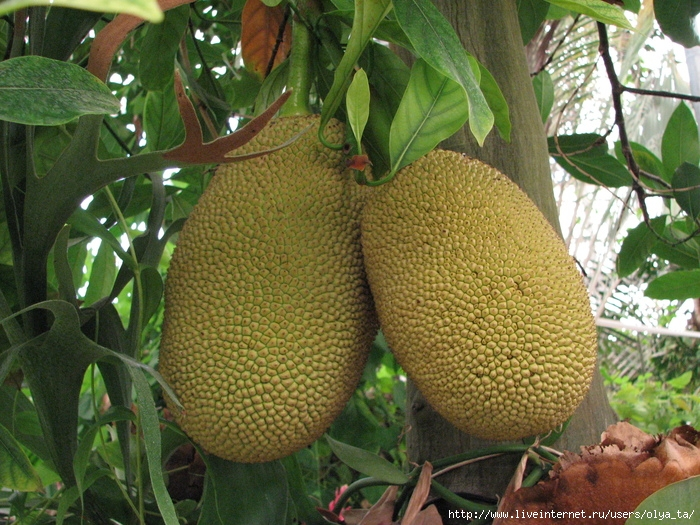 Хлебное дерево - растение семейства Тутовые, родиной которого