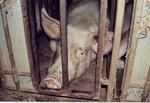 pigs2-s (150x103, 21Kb)