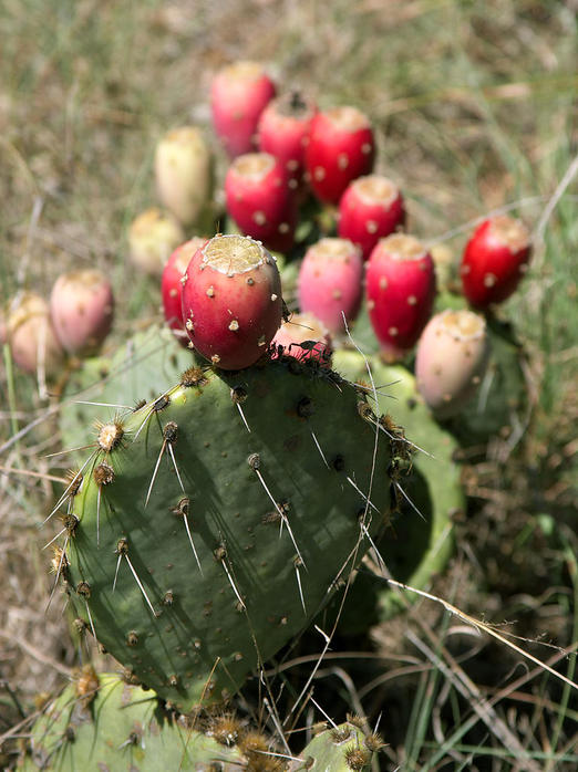 Prickly_Pear_Closeup (522x698, 72Kb)