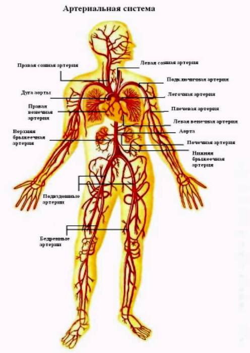 Аорта - самая крупная артерия.