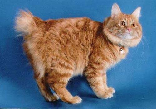 бобтейл кошки фото - фотография 3.
