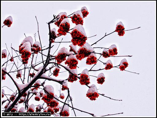 Snow rowanberry