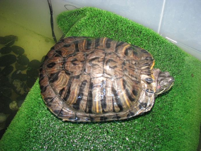 До каких размеров вырастает черепаха в домашних условиях 458