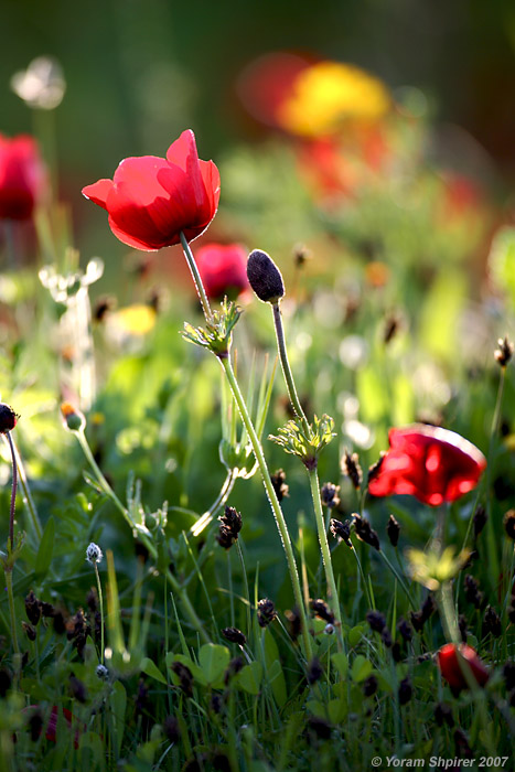 Весенние цветы фотографа Yoram Shpirer