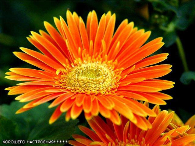 Цветок оранжевый фото 6