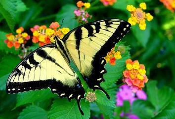 butterflies_12 (354x242, 22Kb)
