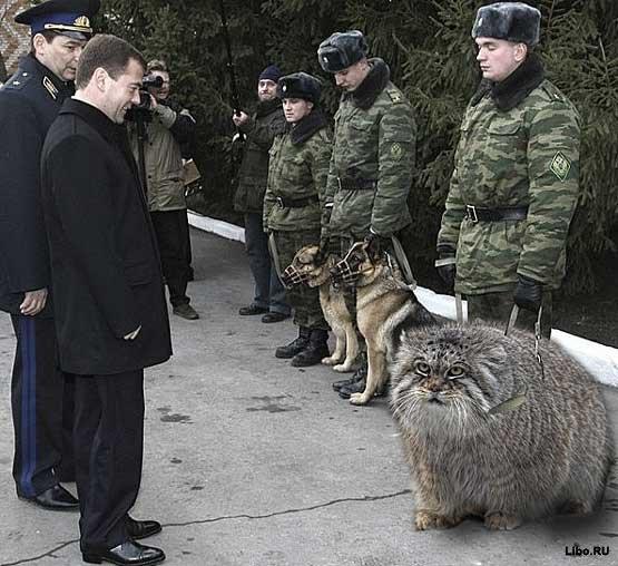 http://img1.liveinternet.ru/images/attach/c/0/38/551/38551326_1232655606_medvedev_i_manul.jpg
