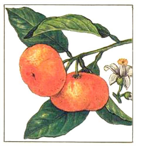 Описание растения.  Обычно деревья мандарина по размерам значительно уступают апельсину, их высота составляет 2-4м.