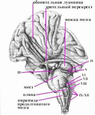 Из пятого мозгового пузыря развивается продолговатый мозг.  Границей между спинным и продолговатым мозгом является...