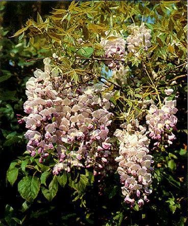 Латинское имя: Wisteria sinensis Русское имя: Вистерия, или глициния китайская Тип растения