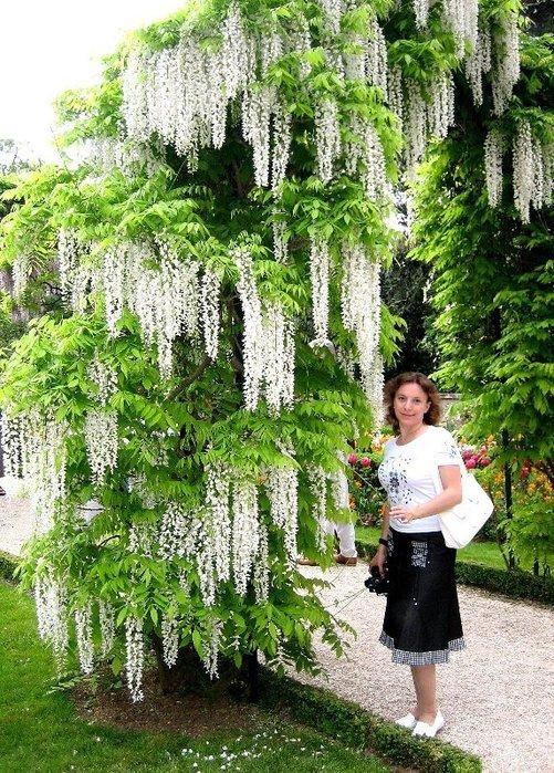 Лесные растения с белыми цветами 58