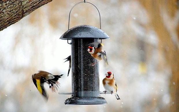Птички Гемпшир