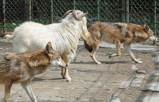 козел волки