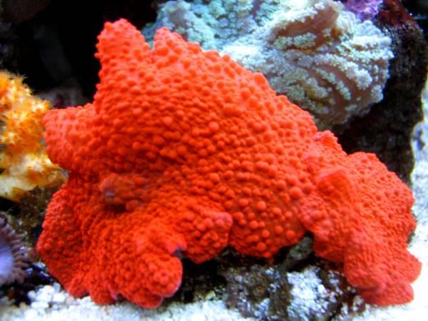 ...острова. коралловых полипов. и. Большие скопления кораллов формируют.