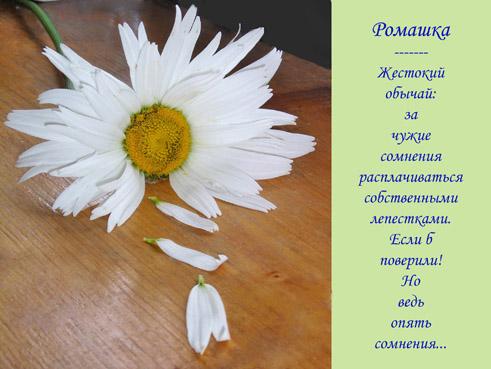 Ромашки картинки поздравление