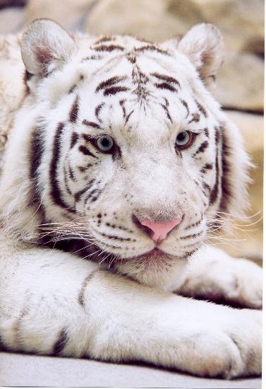 Фото Либерецкий зоопарк, бенгальский тигр Фотография.