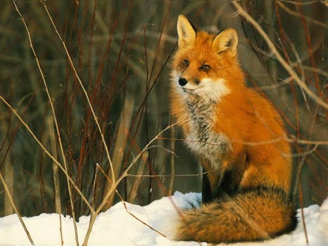 Виды термобелья2 лисиця це дика тварина вікіпедія вид одежды