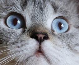 Окрасы британских кошек колорные