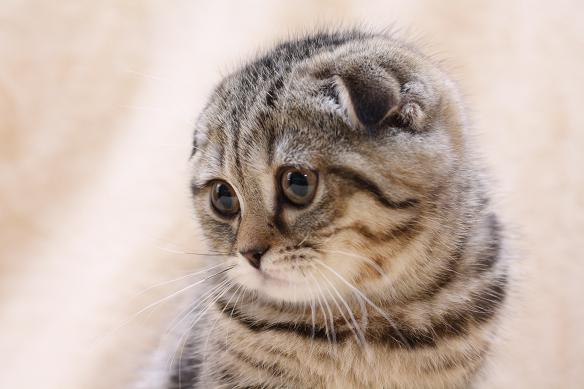 шотландская вислоухая кошка фото - фотография 5.