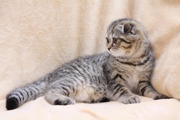 Шотландский вислоухий котенок окраса