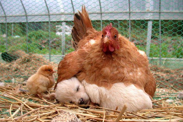 курица цыпленок щенок