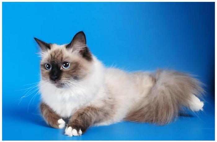 Невская маскарадная - порода кошек, полученная путем скрещивания...
