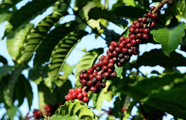 Вивера кофе